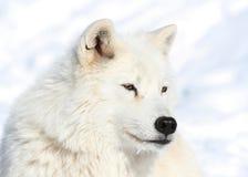 在冬天期间的北极狼 图库摄影