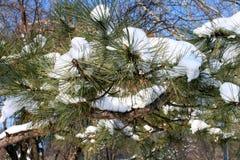在冬天期间,在蓝天的树枝 免版税图库摄影
