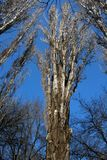 在冬天期间,在蓝天的树枝 免版税库存图片