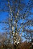 在冬天期间,在蓝天的树枝 库存照片