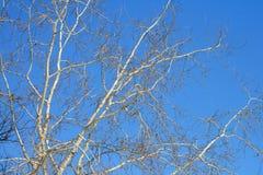 在冬天期间,在蓝天的树枝 库存图片