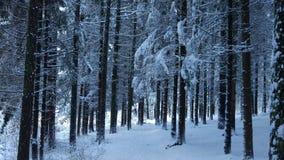 在冬天期间,密集的杉木福雷斯特 免版税库存照片