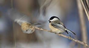在冬天期间,山雀 库存图片
