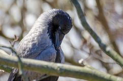 在冬天期间,戴头巾乌鸦或乌鸦座cornix鸟特写镜头  库存照片