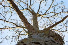 在冬天期间,没有叶子的树 库存图片