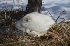 在冬天期间,白狐在户外 免版税库存图片