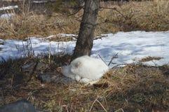 在冬天期间,白狐在户外 库存照片
