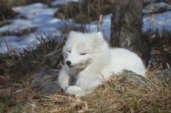 在冬天期间,白狐在户外 图库摄影