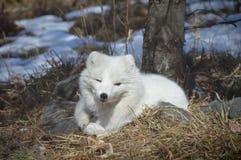 在冬天期间,白狐在户外 免版税图库摄影