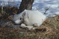 在冬天期间,白狐在户外 免版税库存照片