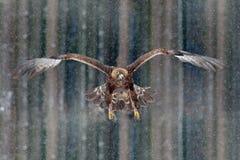在冬天期间,飞行鸷与大翼展,与雪剥落,黑暗的森林的照片的鹫在背景中 野生生物sc 免版税图库摄影