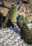 在冬天期间,一个对孔雀 免版税库存照片