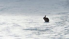 在冬天期间,兔子 免版税库存图片