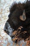在冬天期间,北美野牛水牛城在黄石国家公园 图库摄影