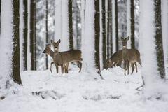 在冬天期间,在雪的狍 免版税图库摄影