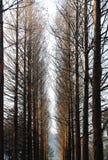 在冬天期间,娜米海岛,韩国杉树  免版税库存照片