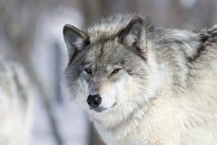 在冬天期间,狼 库存照片