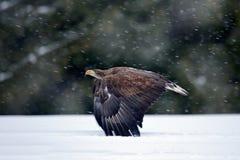 在冬天期间,鸷白盯梢了在雪风暴的老鹰飞行与雪剥落 在飞行的老鹰 行动野生生物场面从 库存照片
