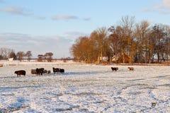 在冬天期间,绵羊种田与雪的牧场地 图库摄影