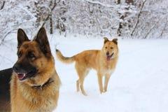 在冬天木头的两条狗 免版税库存照片