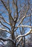 在冬天木头的橡木结构树 库存图片