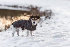 在冬天杰克罗素与外套的狗是今后站立和注视着日落 库存照片