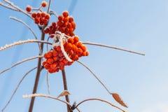 在冬天树冰的花楸浆果 免版税库存照片