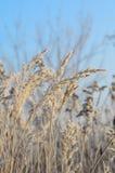 在冬天树冰的草 免版税库存照片