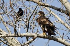 在冬天树栖息的骄傲的幼小白头鹰 库存图片
