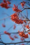 在冬天树的花楸浆果果子 在蓝天的Ashberry特写镜头 免版税库存图片