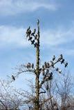 在冬天树的鸽子 库存图片