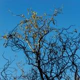 在冬天树的黎明 免版税图库摄影