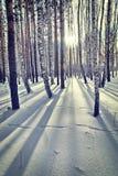 在冬天桦树木头的明亮的晴天 免版税库存照片