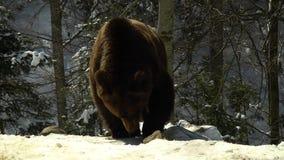 在冬天森林一熊的棕熊在雪吃 股票录像
