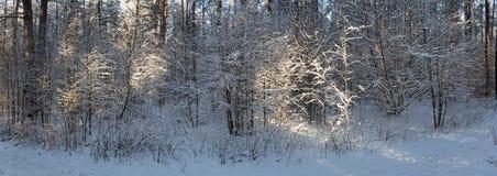 在冬天森林全景的阳光 全景冬天童话 免版税图库摄影