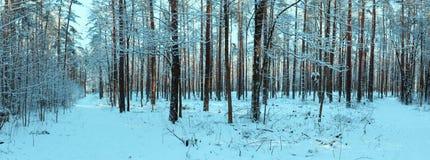 在冬天森林全景的阳光 全景冬天童话 库存照片