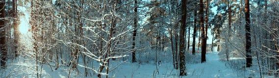 在冬天森林全景的阳光 全景冬天童话 免版税库存照片