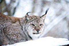在冬天森林关闭的天猫座 库存照片