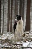 在冬天森林的俄国俄国猎狼犬狗 免版税库存照片