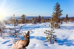 在冬天森林的边缘的驯鹿 免版税库存照片
