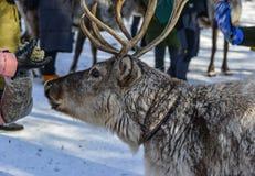 在冬天森林的野生驯鹿 免版税库存图片