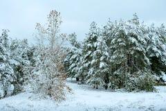 在冬天森林美好的冬天风景的新年树与积雪的树 用树冰和雪包括的结构树 Beautif 图库摄影