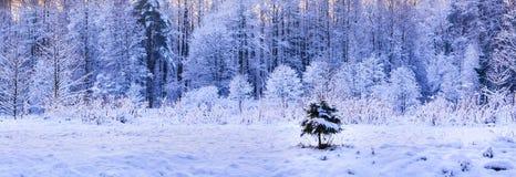 在冬天森林背景的孤独的小的冷杉木 免版税库存照片