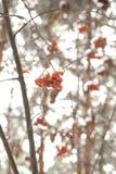 在冬天森林里红色花揪结冰的束 免版税库存照片