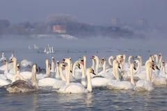 在冬天横向的天鹅 免版税库存照片