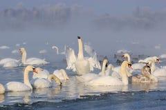 在冬天横向的天鹅 免版税库存图片