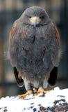 在冬天横向的掠食性动物 免版税图库摄影