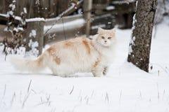 在冬天步行的猫 免版税库存照片