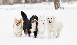 在冬天步行的许多狗 库存照片