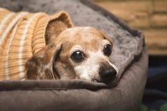 在冬天毛线衣的年长达克斯猎犬狗 免版税库存照片